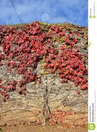 woodbine making a tree pattern on a stone wall stock photo image