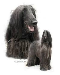 afghan hound group afghanhound hound group pinterest search