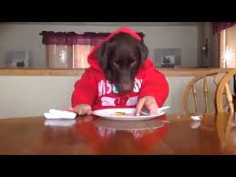 Dogs At Dinner Table This Is A Lab Eating At The Dinner Table Labrador Retrievers