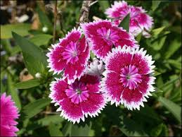 dianthus flower plant id flowers and foliage dianthus florida master gardener