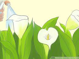 Image Of Calla Lily Flower - how to get calla lilies to flower with pictures wikihow