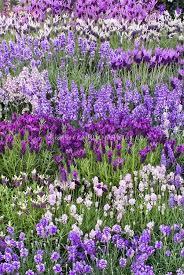 plus de 25 idées uniques dans la catégorie types of lavender