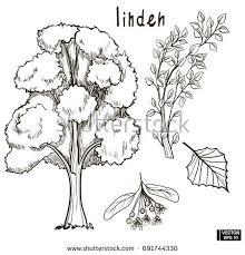 vector image sketch tree set oak stock vector 689506150 shutterstock