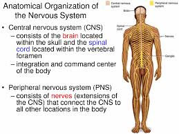 anatomy of the spinal cord in the nervous system spinal cord