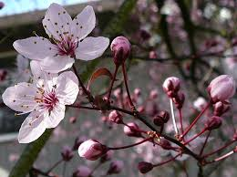 cherry tree flower blossom 2 by enchantedgal stock on deviantart