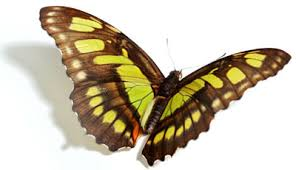 butterfly designer wings creation com