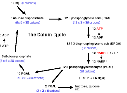 What Happens During The Light Reactions Of Photosynthesis Photosynthesis Pathway Of Carbon Fixation