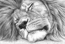 photos pencil drawing of a lion drawing art gallery