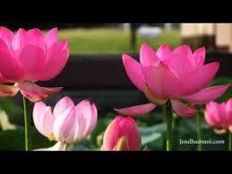 Lotus Flower Bloom - khmer patriotic song lotus flowers bloom in a calm night youtube