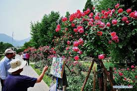 tourists view roses in beijing botanical garden china org cn