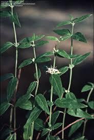 australis plants australian native plants plantfiles pictures river mint native mint native peppermint