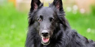 belgian sheepdog pups belgian sheepdog information characteristics facts names