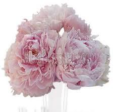 bulk peonies hot pink peonies flower at wholesale