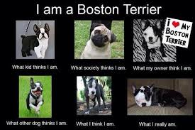 Boston Terrier Meme - i am a boston terrier what others think about me image