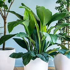 Easy Care Indoor Plants 9 Super Chic Houseplants Peace Lily Peace And Queens