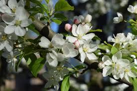 Profusion Flowering Crabapple - i love flowering crabapples u2013 gardeninacity