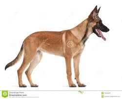belgian sheepdog merchandise belgian shepherd dog puppy 5 months old royalty free stock photos