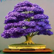 bonsai maple tree picture more detailed picture about purple