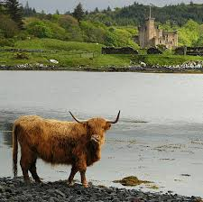 Seeking Castles A Highland Cow Seeking For Seaweed Scotland Scotland And