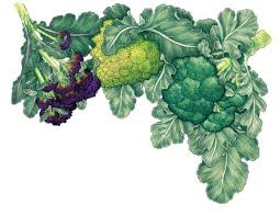 all about growing broccoli organic gardening mother earth news