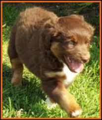 australian shepherd 7 weeks callie u0027s litter 1 pup1 bet blue eyed red tri male miniature