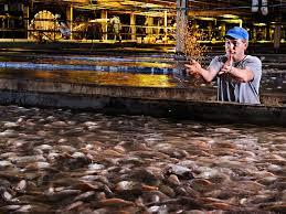 how to farm a better fish hydroponics