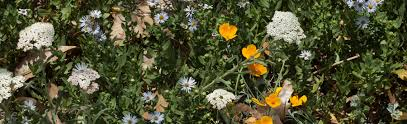 santa barbara native plants weeding wild suburbia all about gardening with california native