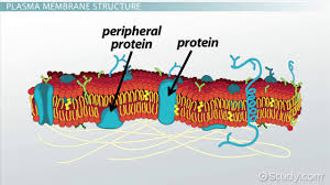 plasma membrane of a cell definition function u0026 structure