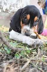 bluetick coonhound dog view ad bluetick coonhound dog for adoption missouri fayette usa