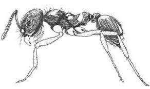 florida harvester ant pogonomyrmex badius