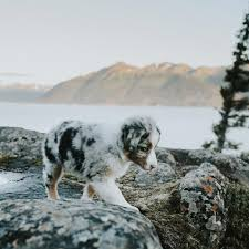 60 lb australian shepherd this australian cattle dog puppy is perfectly camouflaged aww