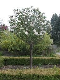 fragrant viburnum tree form garden gardens plants