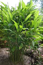 native plants sydney heliconia canna and ginger plants