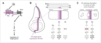 cell sorting at the a p boundary in the drosophila wing primordium