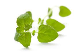 origan frais en cuisine origan frais herbe aromatique image stock image du ingrédient