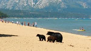 mother bear and her cubs on the beach pope beach lake tahoe ca