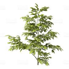 albizia tree render isolated on white background stock photo