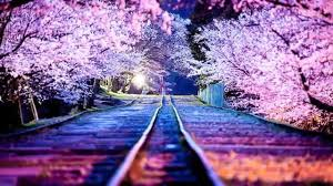 Japanese Cherry Blossom Tree by The Most Beautiful Japanese Cherry Blossom Photos Of Hd 2014 Youtube