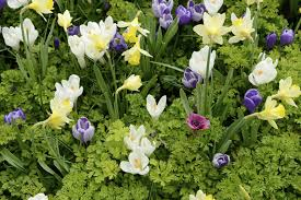 bulb garden layout daffodil companion plants u2013 learn about companion planting with