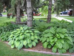 Backyard Trees Landscaping Ideas by Large Hostas And Ferns Under Evergreen Trees Garden Ideas