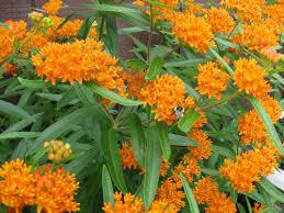 butterfly flowers butterfly asclepias butterfly farmer seeds