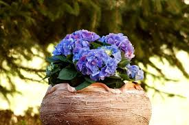 flower hydrangea 25 hydrangea flower pot and planter arrangements photos