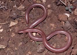 Plains Blind Snake Snakes Suborder Serpentes