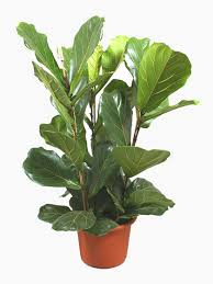 plant for office indoor house office plants for sale online uk wide delivery
