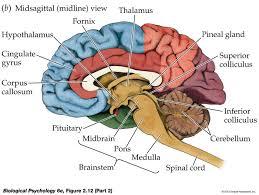 Human Anatomy Planes Of The Body Sagittal Plane Brain Amygdala Google Search Neuroanatomy
