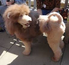 haircutsfordogs poodlemix 32 best doggy problems images on pinterest at home couple and dogs
