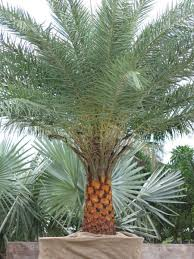 sylvester palm tree sale palms earthscapes unlimited inc