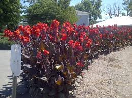cana lilly canna lilly using canna lilies as a hedge plant online