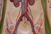 Human Anatomy And Physiology Courses Online Anatomy Of Abdomin Www Uocodac Com