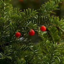 plants native to japan facts about japanese yew tree is japanese yew poisonous to dogs
